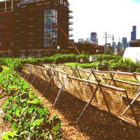 Chicago crops