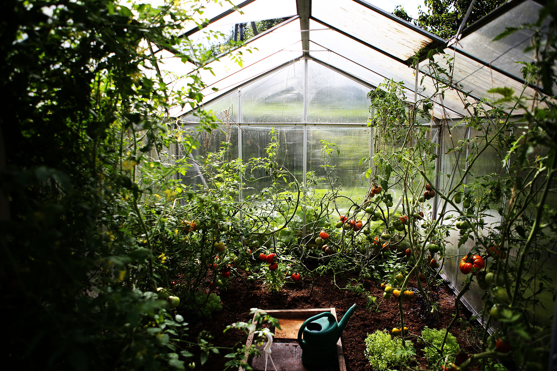 Greenhouse tomatoes